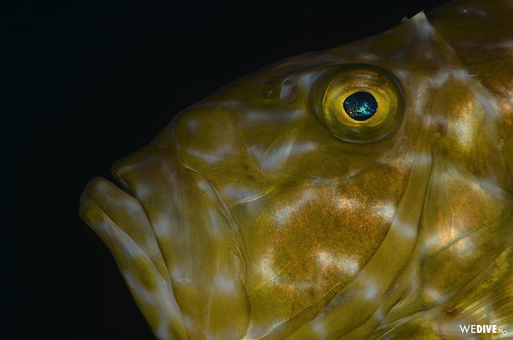 fisk_vidar