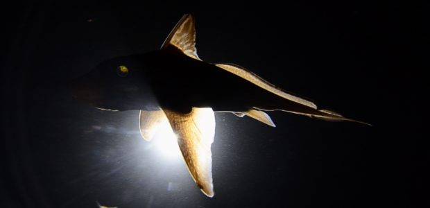 The ghost shark