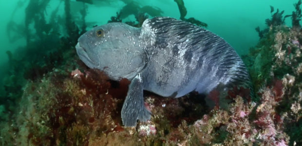 The king of Tjeldsundet – The wolffish