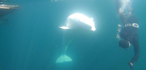 WeDive meets Hvaldimir (The runaway Beluga whale)